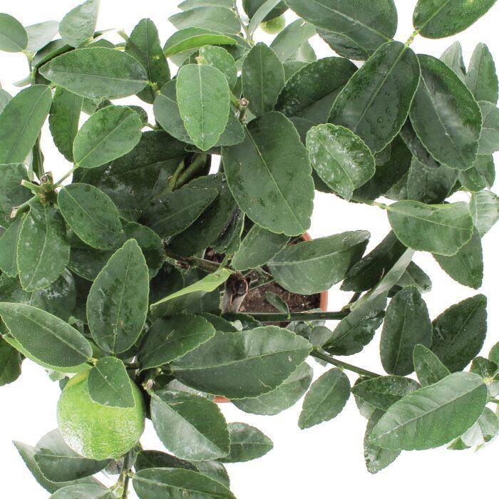 Citrus Aurantifolia - Pianta di Lime