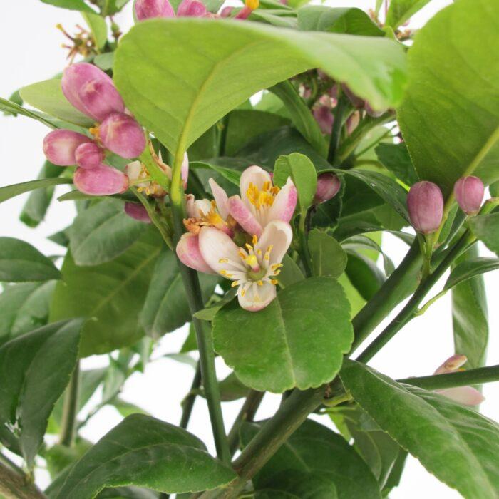 Citrus Limonia - Limetta di Rangpur