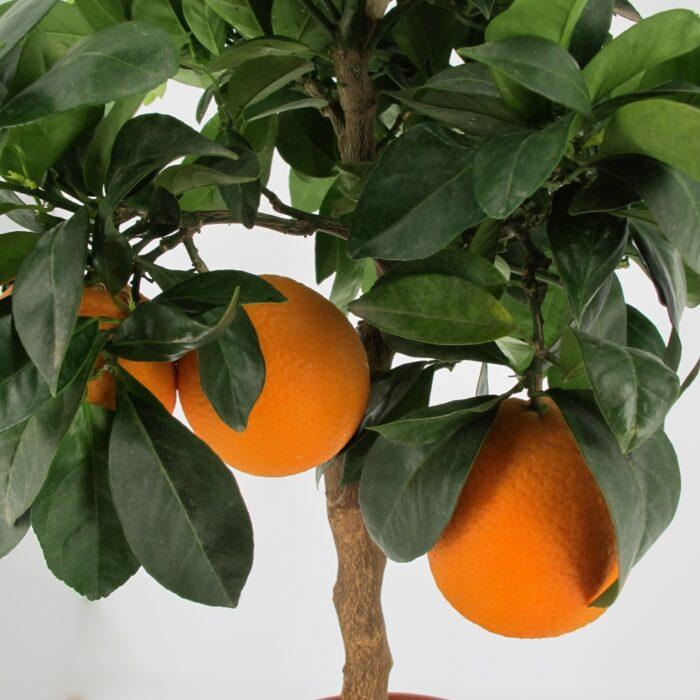 """Citrus Sinensis Rosso """"Moro"""""""