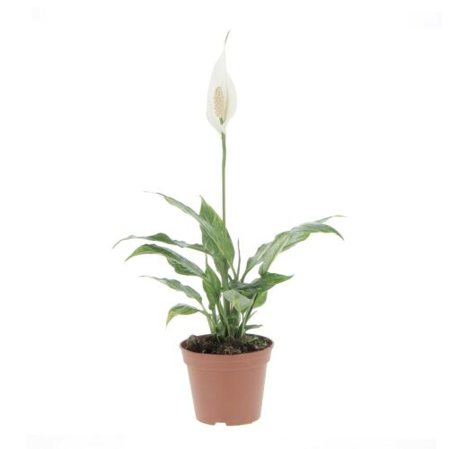 Spathiphyllum Variegato Diamond Cupido
