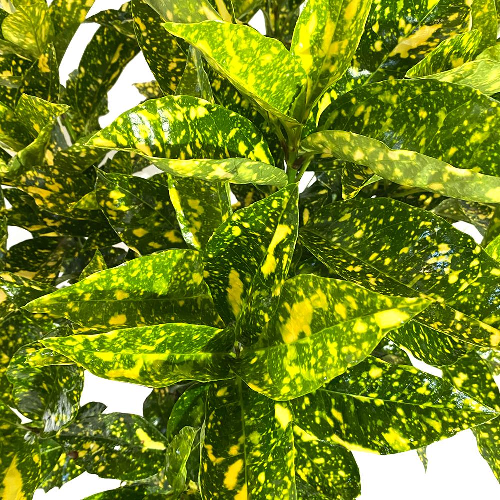 Aucuba Japonica Crotonifolia