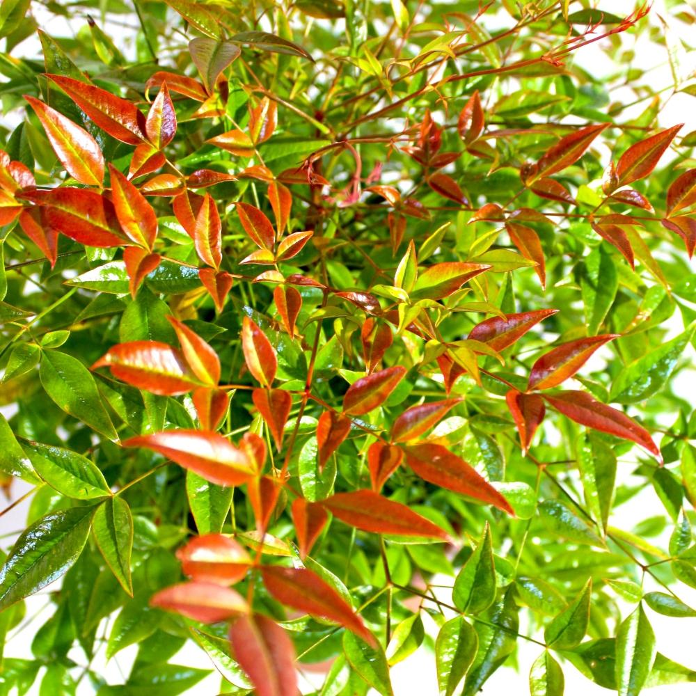 Nandina Domestica Bambù Sacro