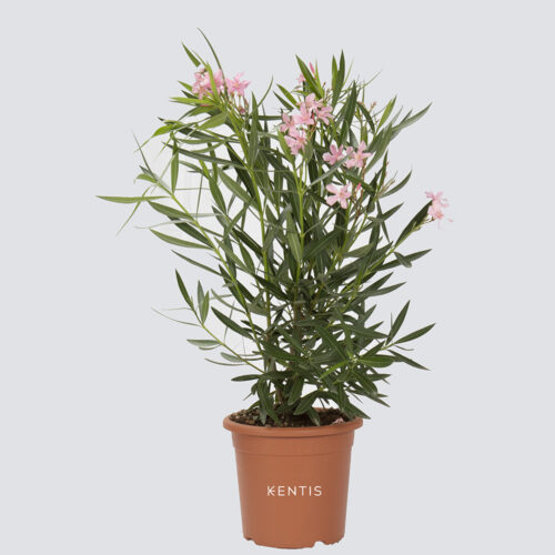 Nerium Oleander Rosa