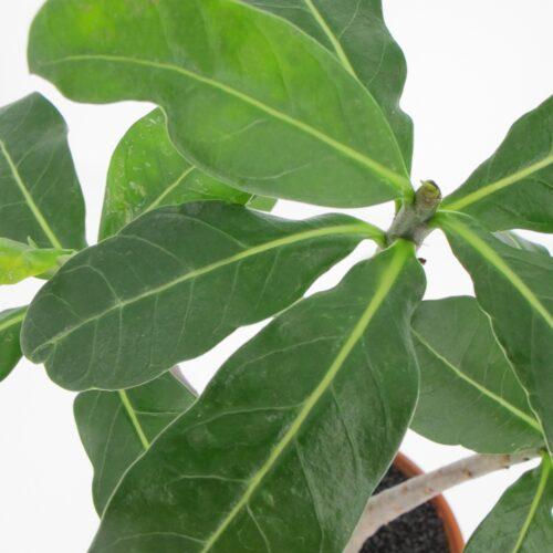 Adenium Obesum Ansu Baobab