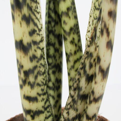Alocasia-Zebrina
