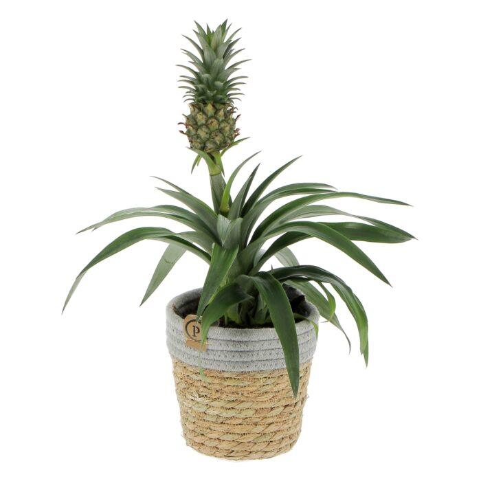 Ananas Corona