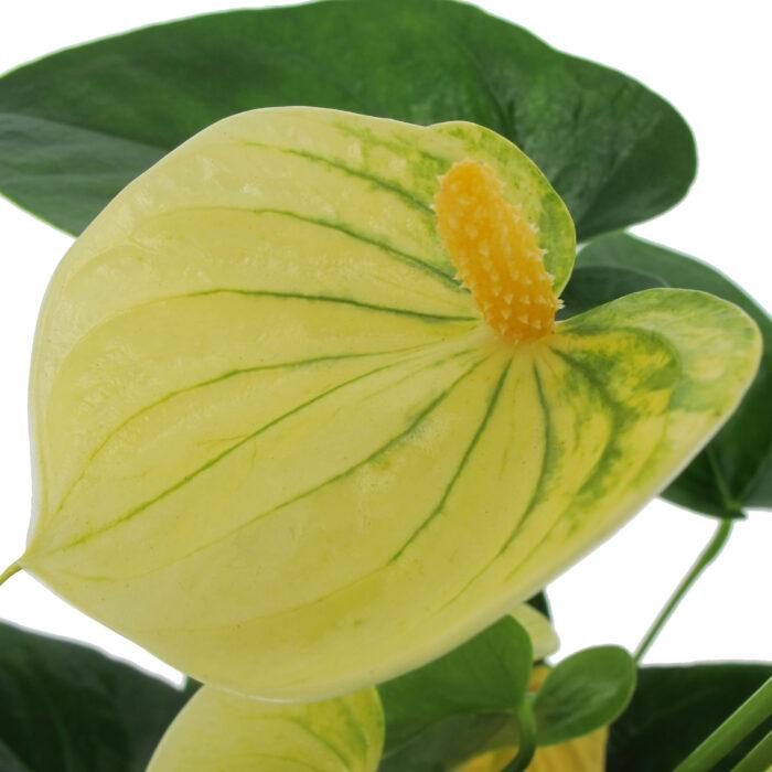Anthurium Vanilla, galleria