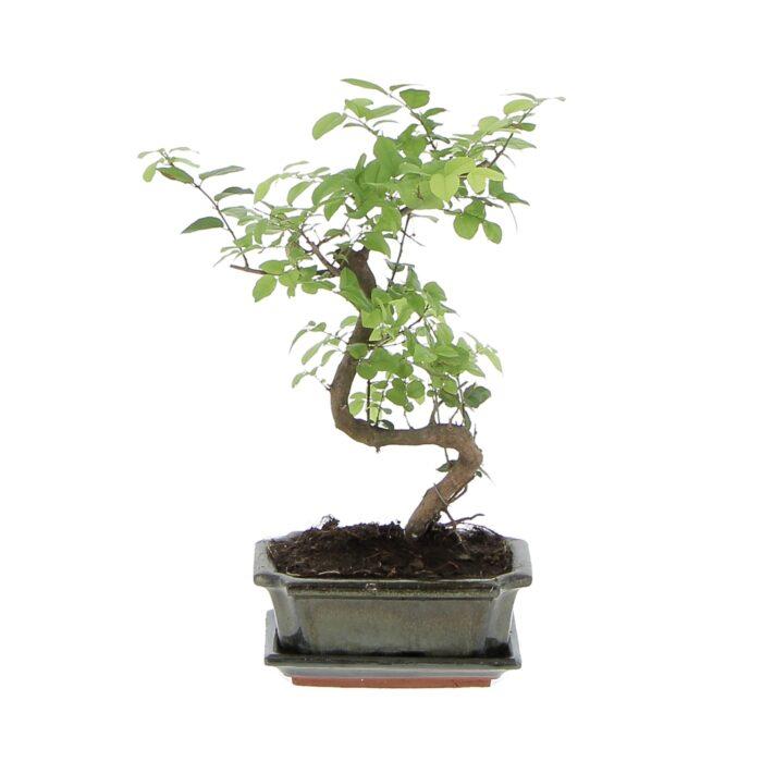 Bonsai Sageretia Theezans