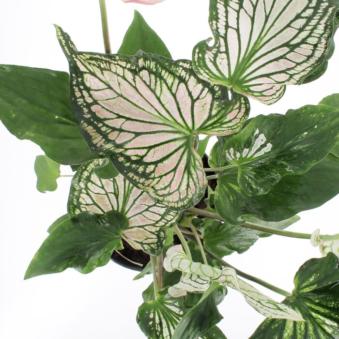 Caladium Thai beauty