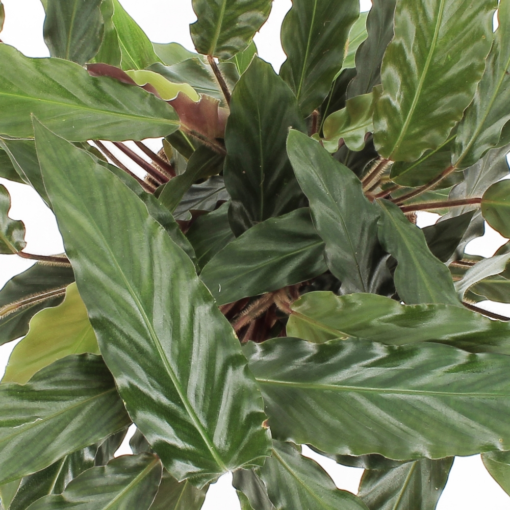 Kokodama Calathea Rufibarba 1