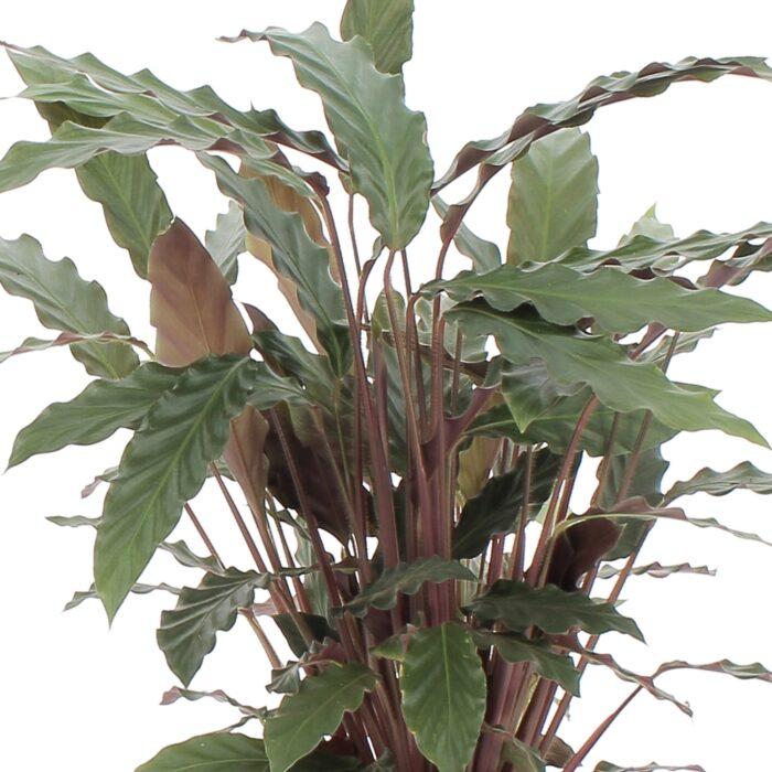 Kokodama Calathea Rufibarba 2