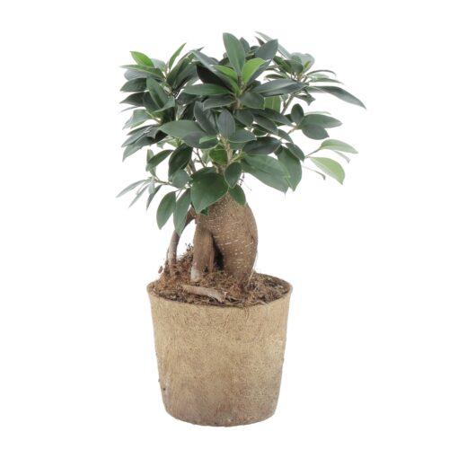 Kokodama Bonsai Ficus Ginseng