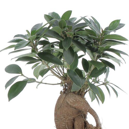 Kokodama Bonsai Ficus Ginseng 2