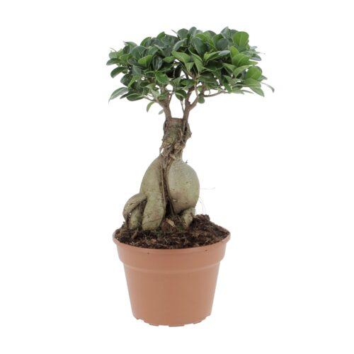 Bonsai Ficus Ginseng/Retusa