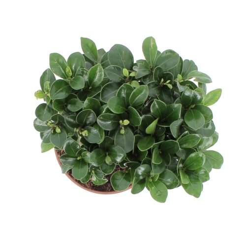 Bonsai Ficus Ginseng/Retusa 1