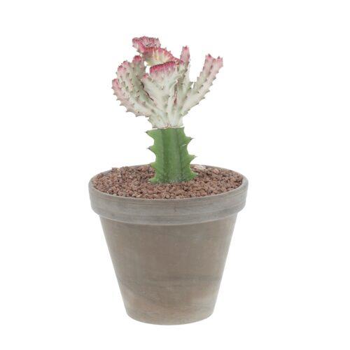 Euphorbia Lactea Crestata
