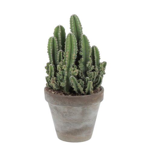 Cereus Repandus - vaso terracotta