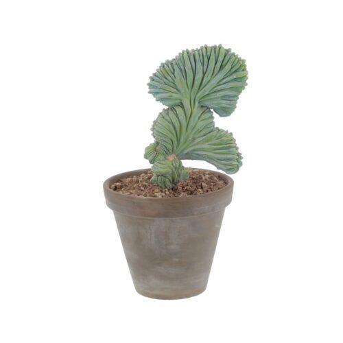 Myrtillocactus Geometrizans Crestato