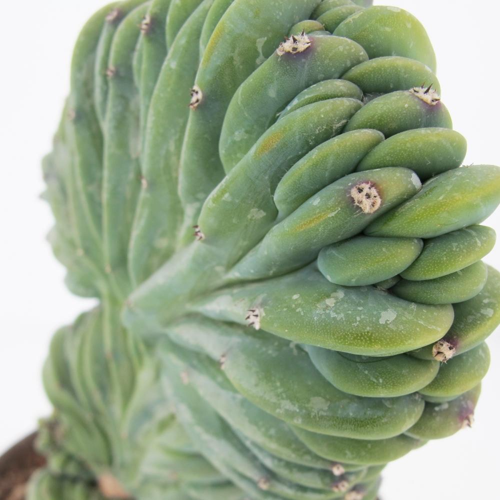 Myrtillocactus Geometrizans Crestato 1