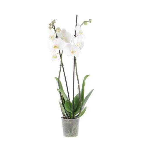 orchidea vaso coltura