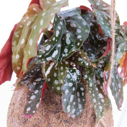 Kokodama Begonia Maculata 1