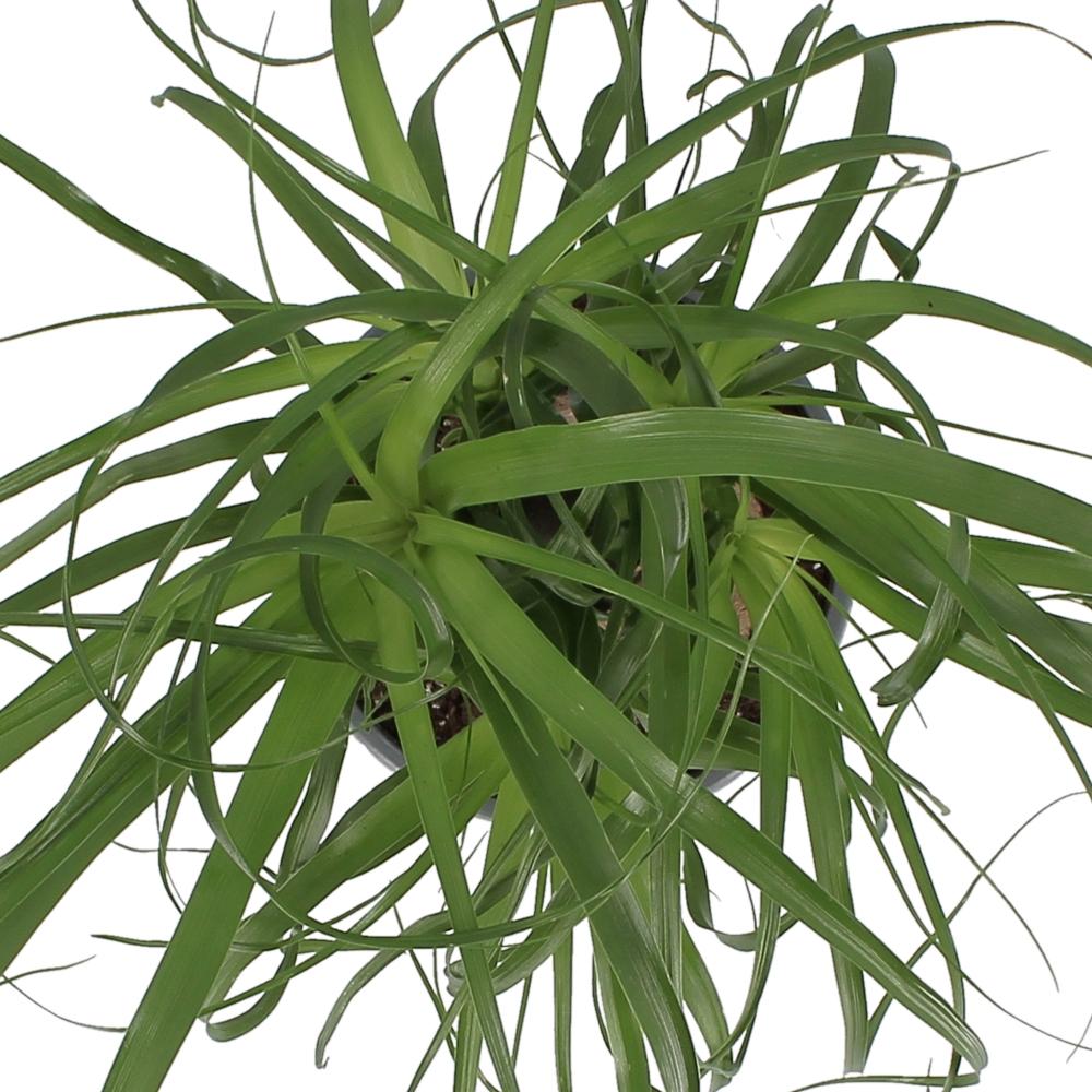 nolina beucarnea
