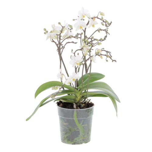 Orchidea Phalaenopsis Wild Bianca
