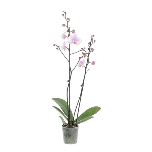 orchidea vaso di coltura
