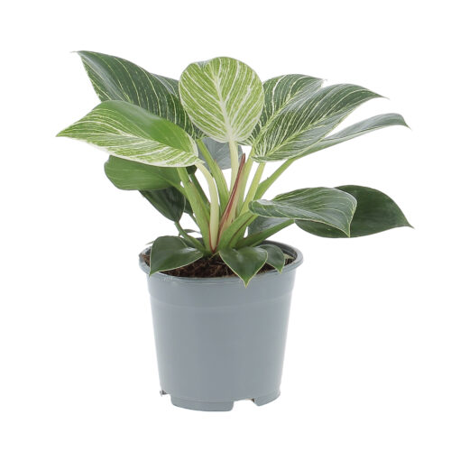 Philodendron Frosty