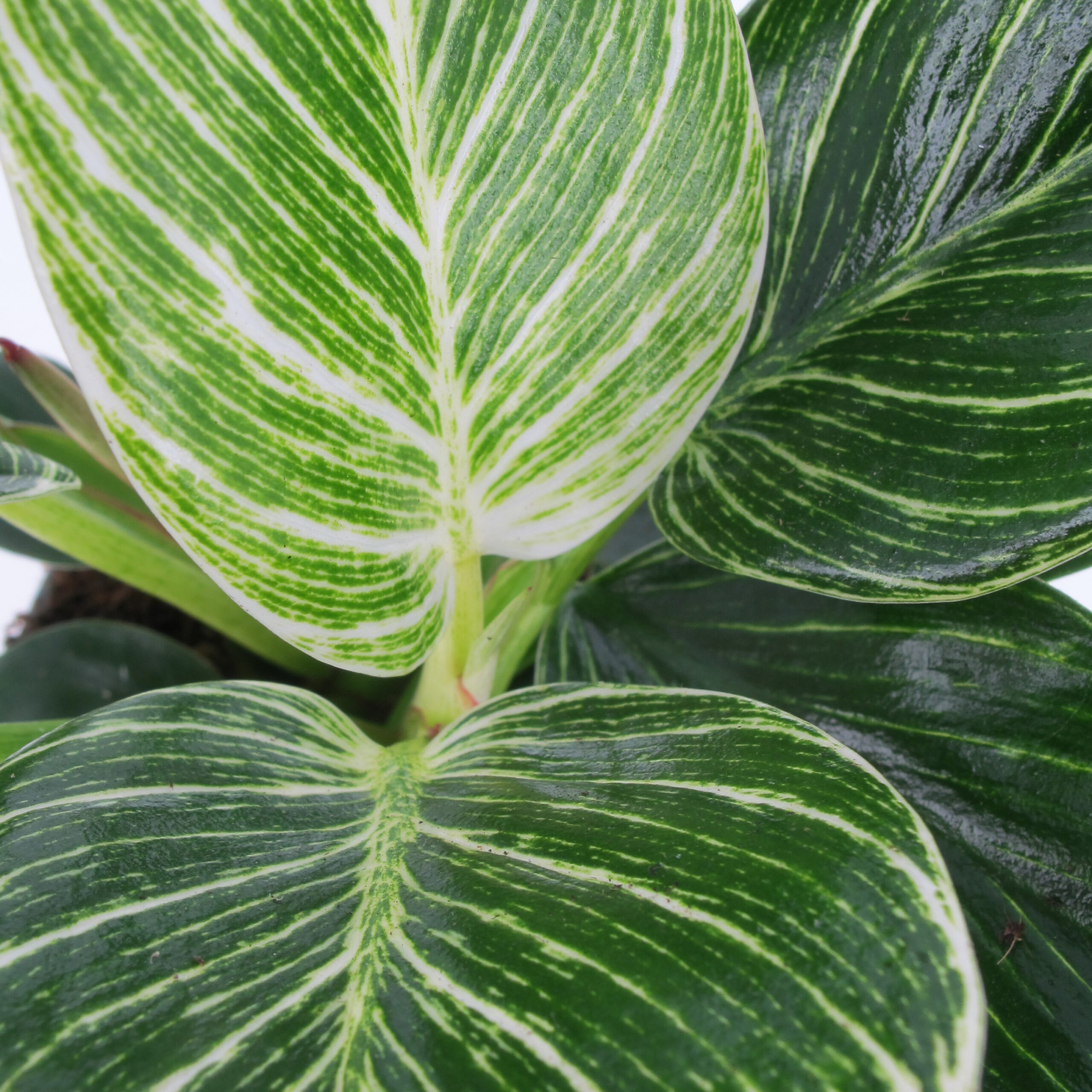 Philodendron Frosty 3