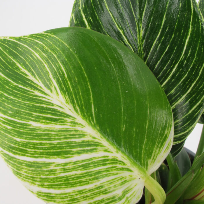 Philodendron Frosty 2