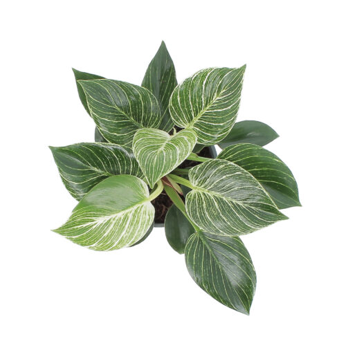 Philodendron Frosty 1