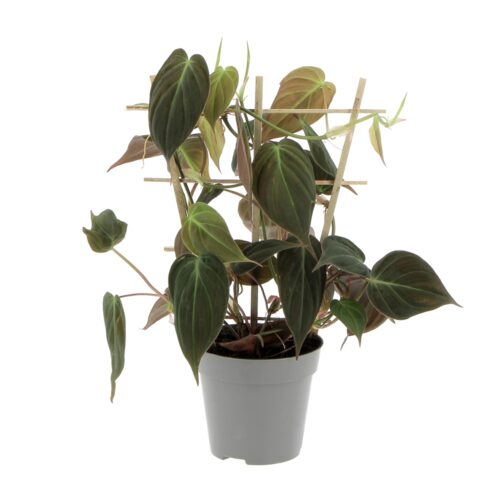 Philodendron Scandens Micans
