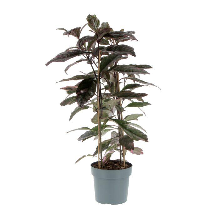 Pseuderanthemum Atropurpureum Tricolor