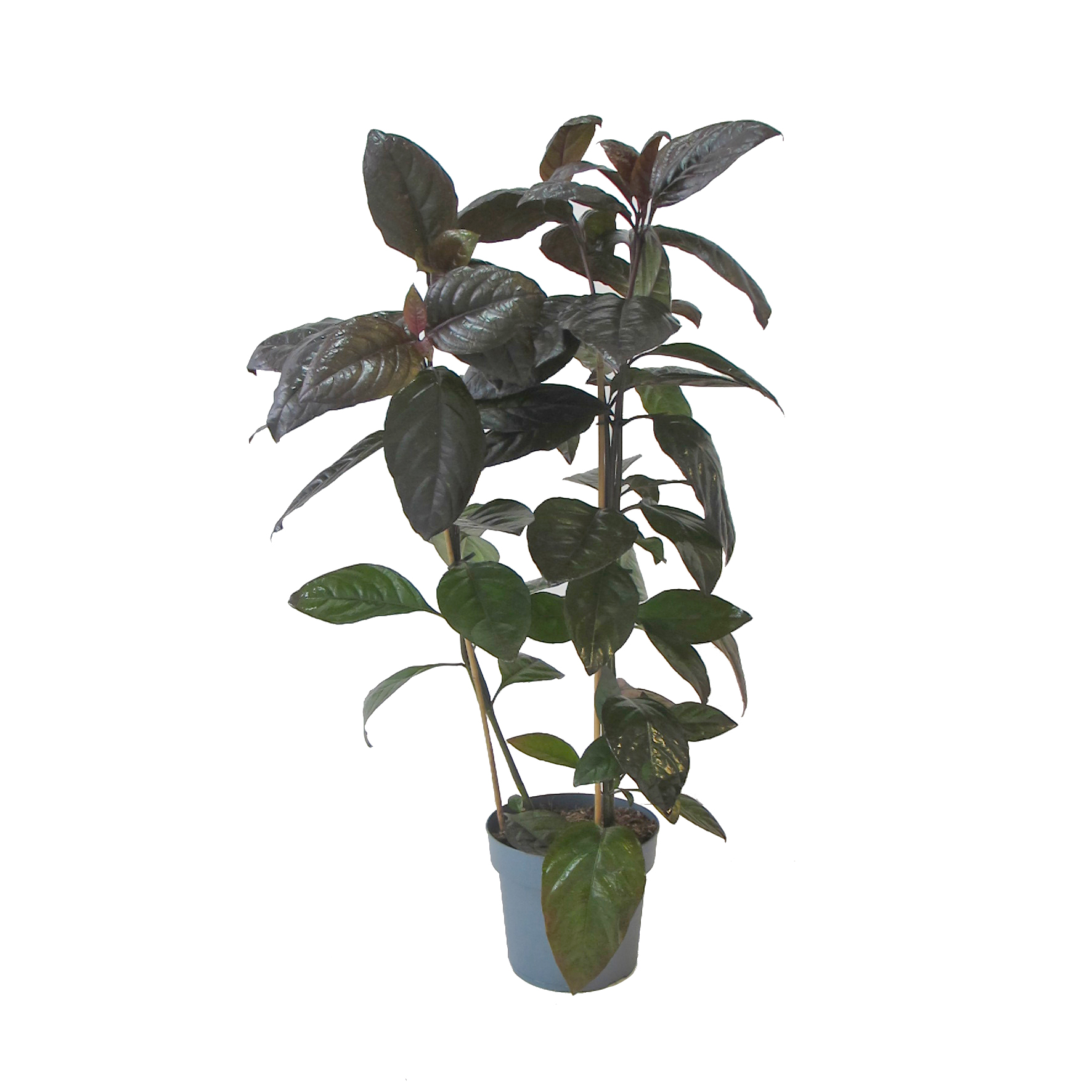 Pseuderanthemum Carruthersii - vaso coltura standard