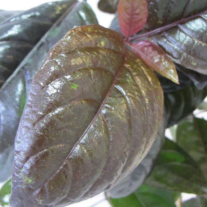 Pseuderanthemum Carruthersii 2