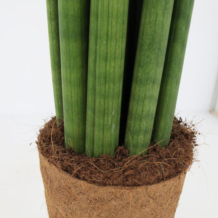 Sanseveria-Cylindrica