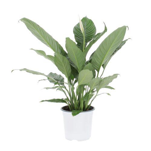 Spathiphyllum Wallisii Martina