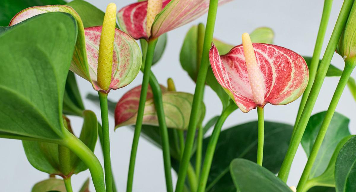 Piante fiorite kentis