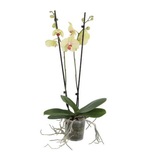 orchidea edyta vaso coltura standard