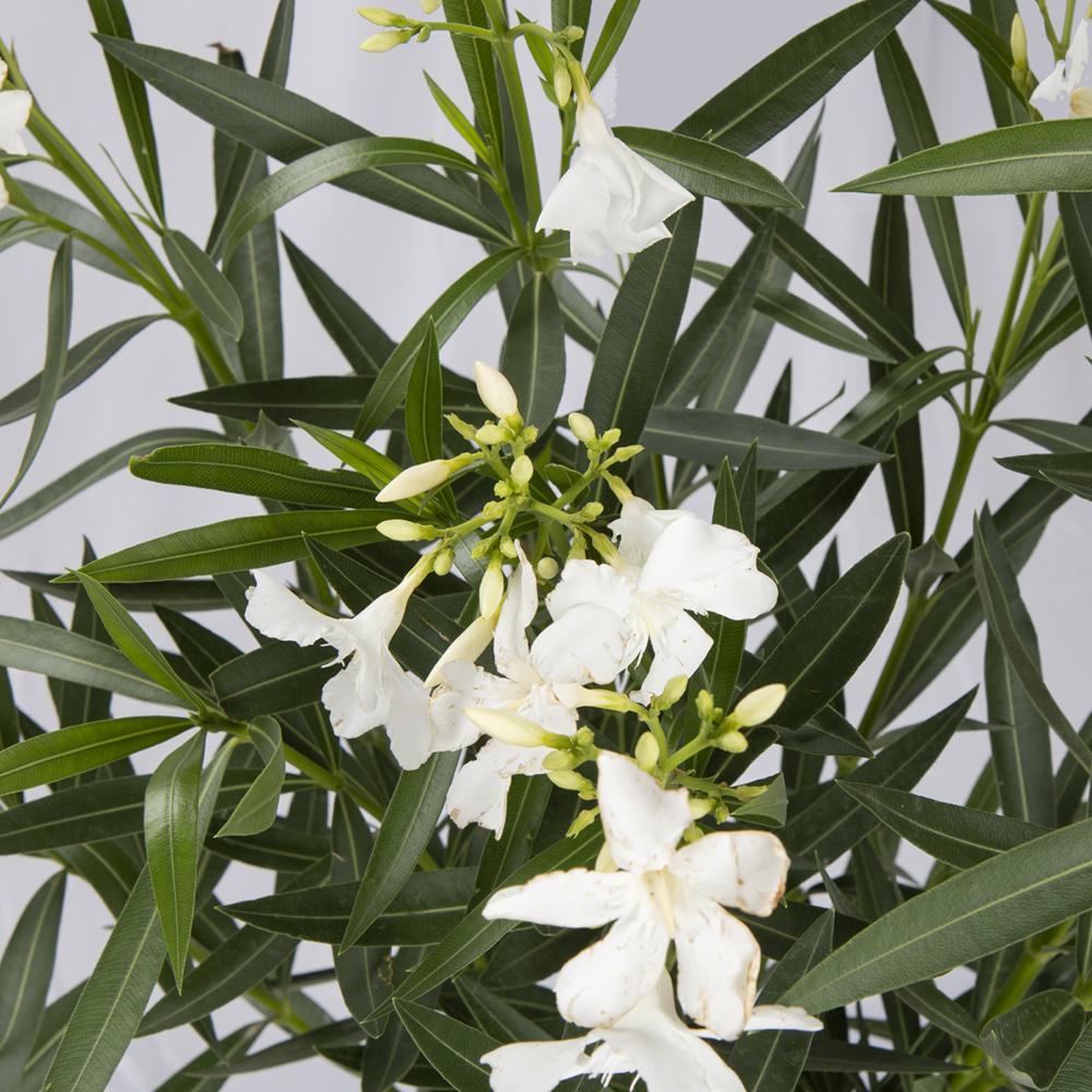 nerium-oleander-bianco