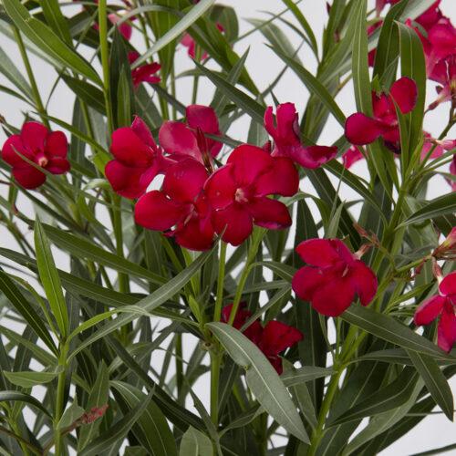 Nerium Oleander rosso