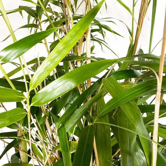 Bambusa Metake Pseudosasa Japonica